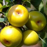 apples200